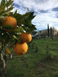 Finca Son Canals Orangen Mallorca