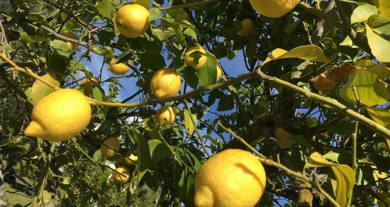 Finca Son Canals Zitronen Mallorca